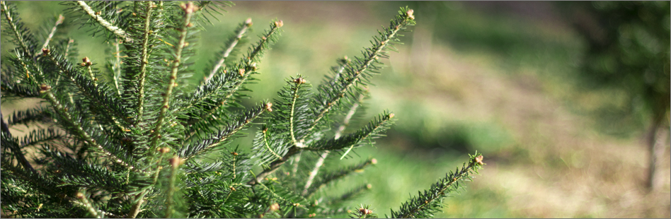 simple essay on plantation Tree-planting is the process of transplanting tree seedlings, generally for forestry,  it is one of the many plantation forests planted since european settlement.